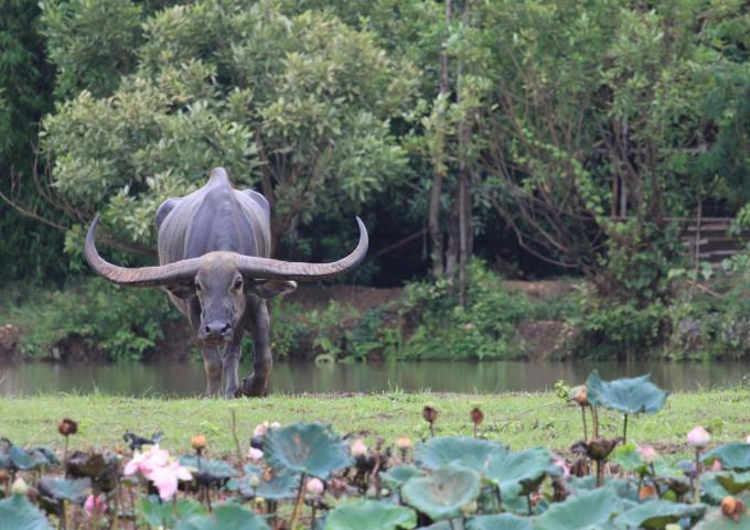Ein indischer Wasserbüffel in der Natur. Er wird nicht wegen seiner Hörner gezüchtet, sondern ist in seiner Heimat sogar heilig und die Hörner werden eingesammelt, wenn sie auf natürliche Weise verloren werden.